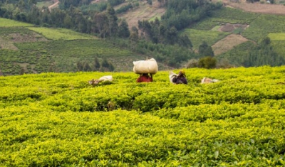 Tea plantations in Tanzania