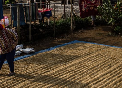 A woman drying paddy in front of her house in Tri Budi Syukur village, West Lampung regency, Lampung province, Indonesia on November 05, 2017.