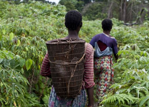 Democratic Republic of the Congo, Equateur province, Monzaya. Women from the village of Monzaya crossing cassava fields on their way to fish in ponds that have been the source of armed violence in 2009 between the villages of Enyele and Monzaya.
