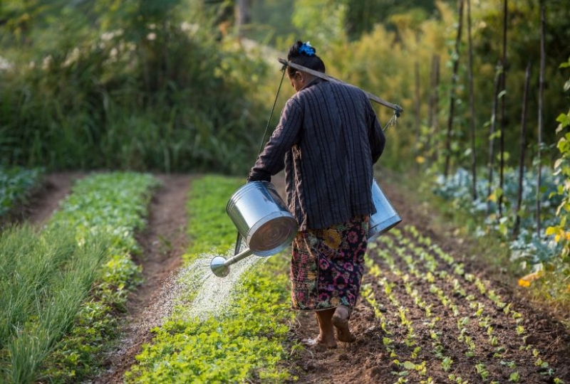 Vegetable farmer watering plants at the organic farm in Boung Phao Village, Lao PDR.